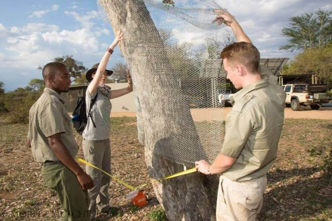 Safe guarding the trees from bark-stripping using chicken-mesh Photo: Moritz Muschic