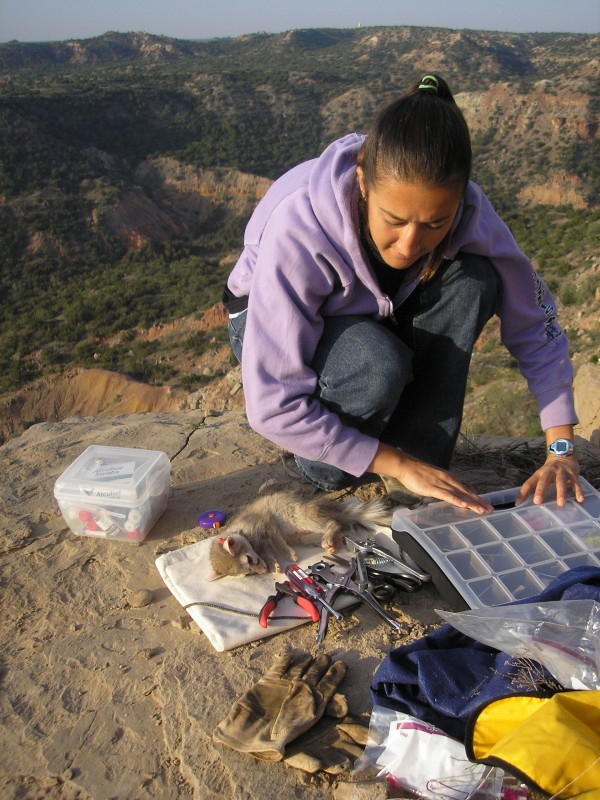 Conservation Careers Blogger Naima Montacer Conducting Her Masteru0027s Degree  Research On Ringtails In Palo Duro Canyon