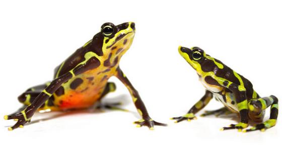 Limosa Harlequin Frog ©Brian Gratwicke