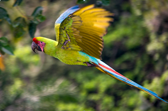 Great Green Macaw. © The Ara Project.