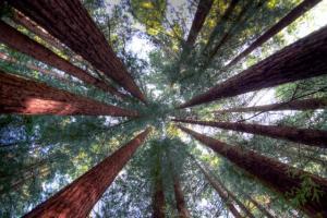 redwoods canopy