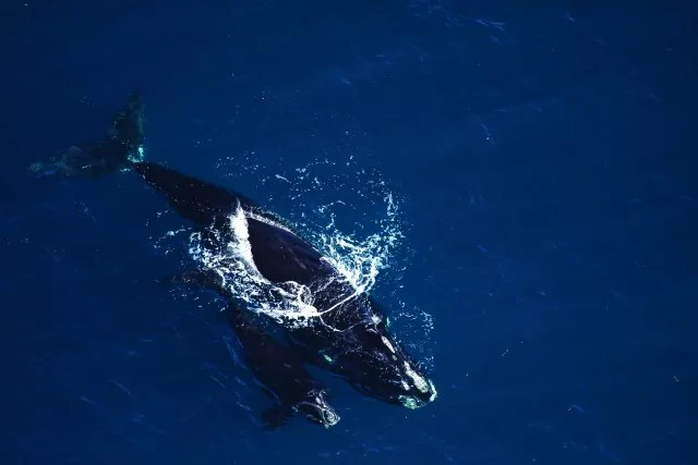 North Atlantic right whale and calf