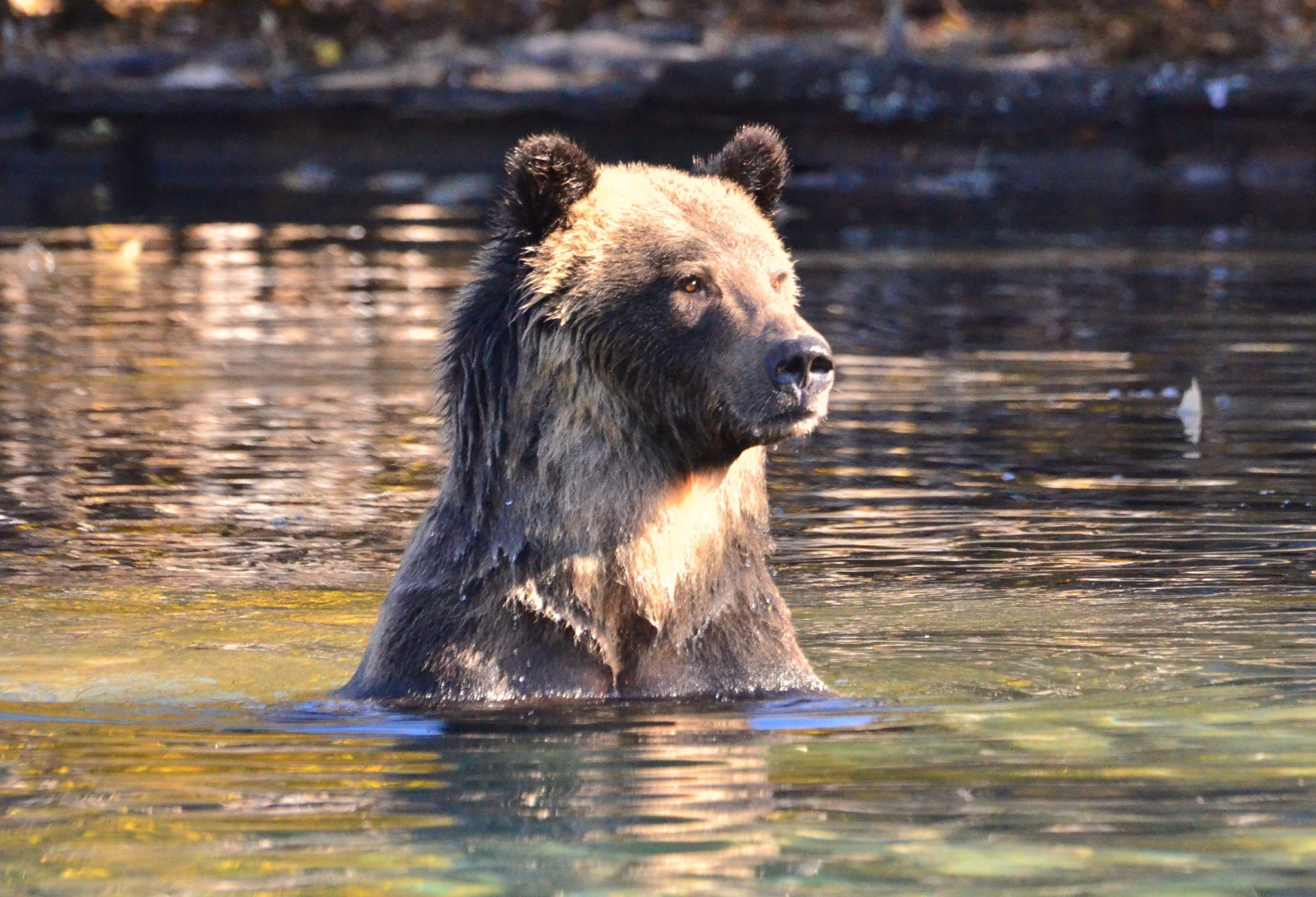Update On Coast To Cascades Grizzly Bear Initiative Conservation Northwest Protecting Connecting And Restoring Wildlands And Wildlife