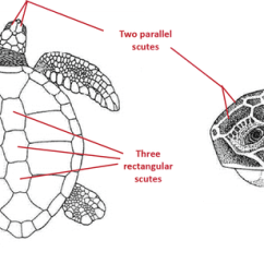 Diagram Turtle S Head Auto Wiring Legend Id Loggerhead Turtles