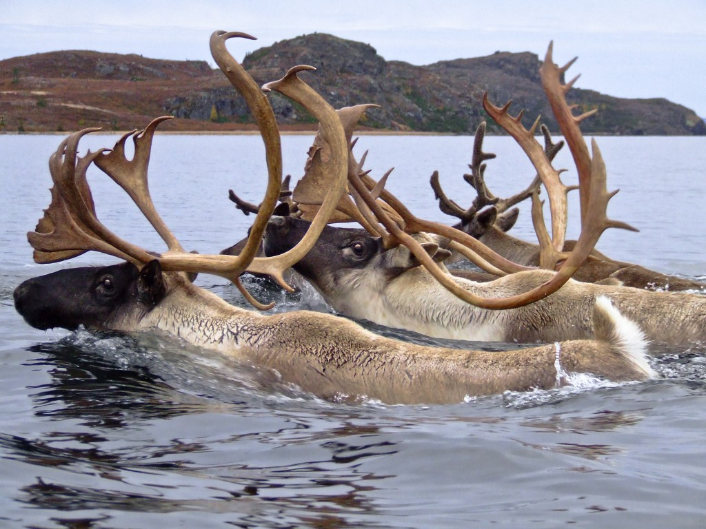 Caribou The Boreal S Other Great Migration