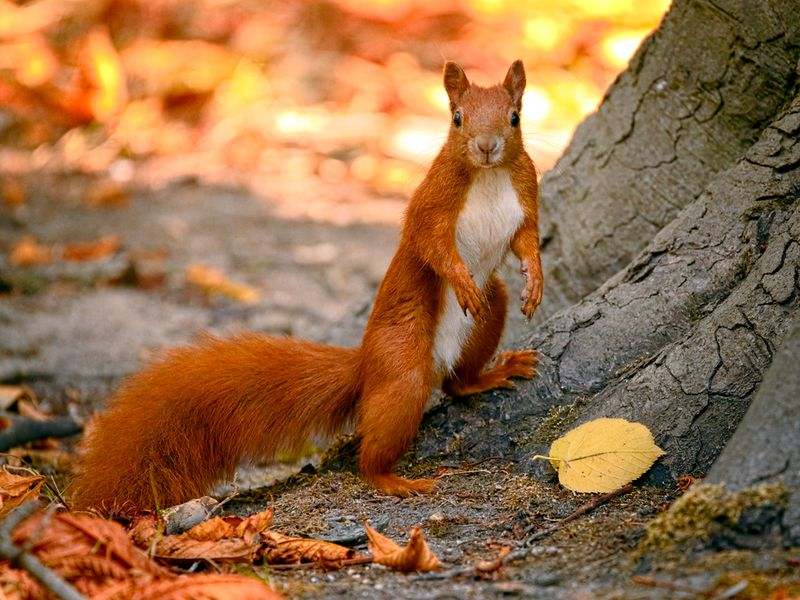 red squirrel a guide