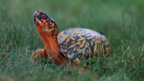 eastern box turtle « Conserve Wildlife Foundation of New Jersey