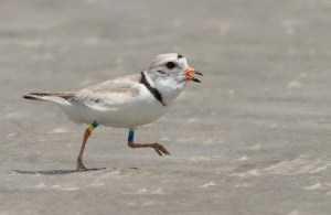 Banded Piping Plover at Stone Harbor Point, NJ. Courtesy of Tom Reed