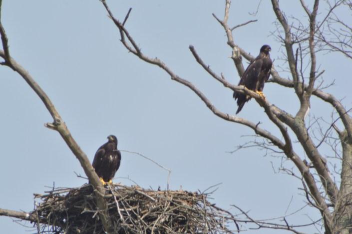 Fairgrounds eagle nest © Kevin & Karin Buynie