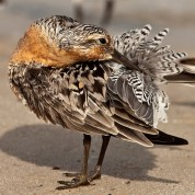 Find beautiful photographs like this one of a red knot preening on our new shorebird page. © Jan van de Kam