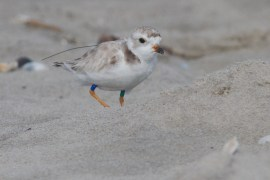 Piping plover outfitted with color bands and radio transmitter. (Photo courtesy of Tom Reed)