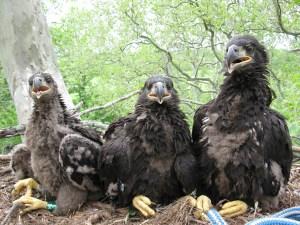 Duke Farms eagle nest at banding May 18, 2009 © Mick Valent
