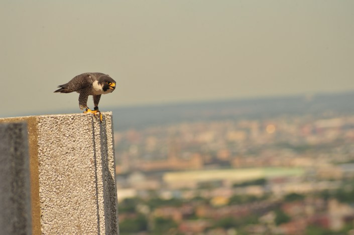 Tiercel peregrine falcon at Jersey City. © Kathy Clark/ENSP