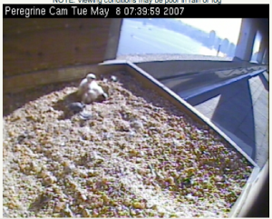 Peregrine nestlings in the nestbox at 101 Hudson St.