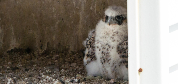 The nestling from this year was banded with an alpha-numeric band 44/AM for future tracking. © Bonnie Talluto