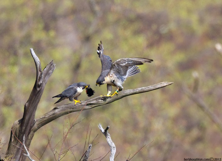 Prey delivery strengthens the pair bond. © Herb Houghton