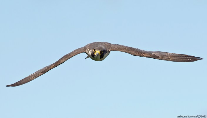 Peregrines have a streamlined profile. Built for extreme speed and maneuverability. © Herb Houghton