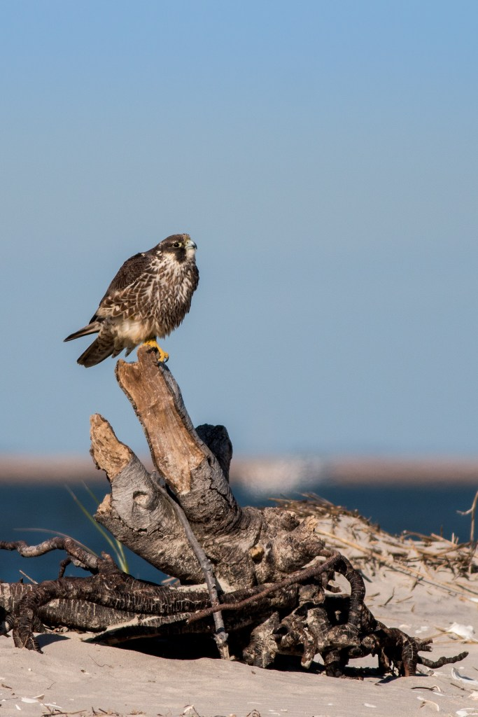 "This juvenile Jim aptly named ""Bridgette"" after the nest where it originated, which was installed in 2013 for mitigation for a nest that was once on the GSP bridge over Egg Harbor Bay. Photo by Northside Jim."