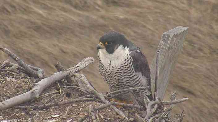 This morning a female peregrine was perched on the osprey cam nest at Forsythe NWR.