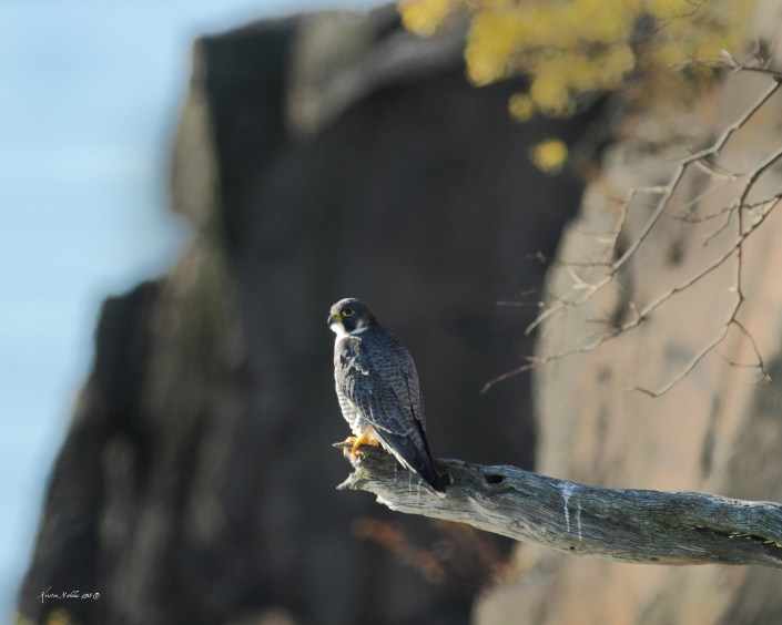 A male peregrine perched at the NJ Palisades. © Kristen Nicolas