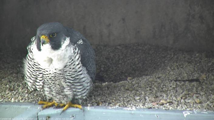 The male peregrine falcon, *2/*6, that nests at 101 Hudson St. As viewed from our new Falcon Cam!