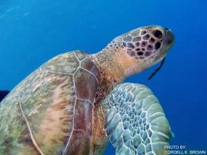 A green sea turtle. Photo by Cordell Brown.
