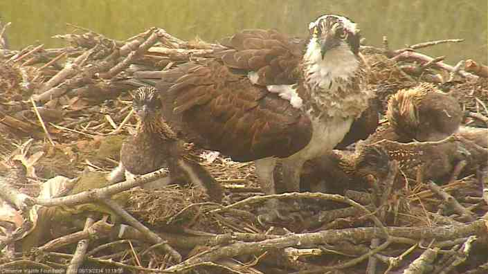 Today marks 21 days old (for the oldest two young). They're now very active in the nest and like to check out all the cool nesting material mom & dad used in the nest.
