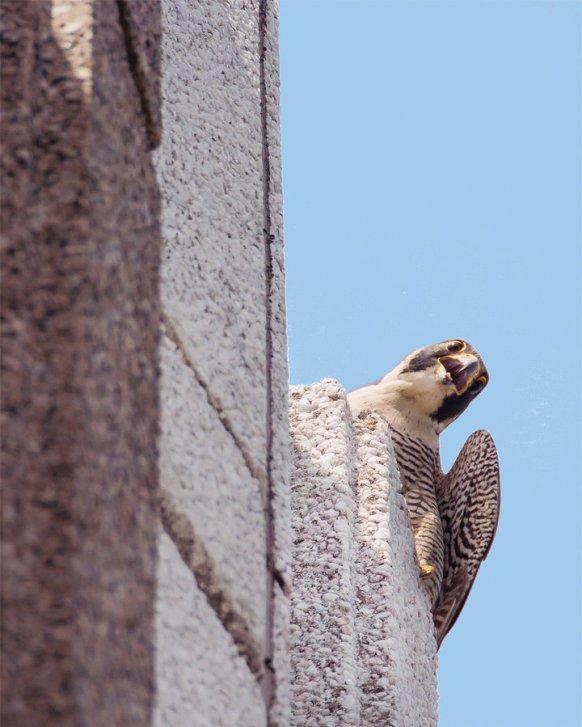 Peregrine falcon by Bonnie Talluto