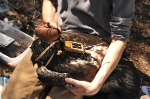 Juvenile male bald eagle (D/95) with GPS transmiter being attached. Kathy Clark/ENSP