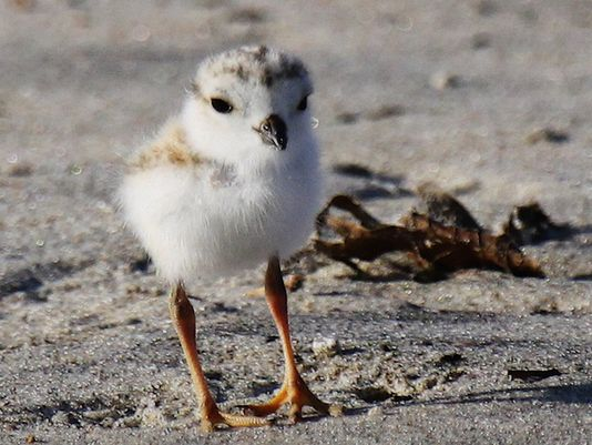 Piping plover chick, photo credit: Asbury Park Press/Nancy A. Smith