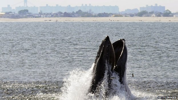 Humpback Whale feeding off New York City's Rockaway Peninsula. Photo Credit: BBC News