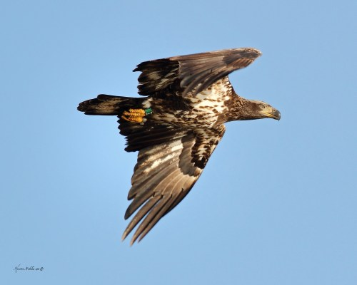 3rd year eagle @ Kristen Nicholas.  Immature eagles plumage is variable before reaching adult hood