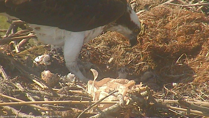 Two osprey eggs hatched overnight on May 25-26th at Forsythe NWR in Oceanville.