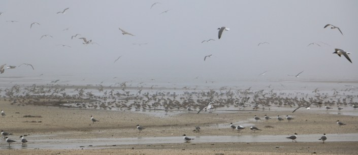 Early Red Knots