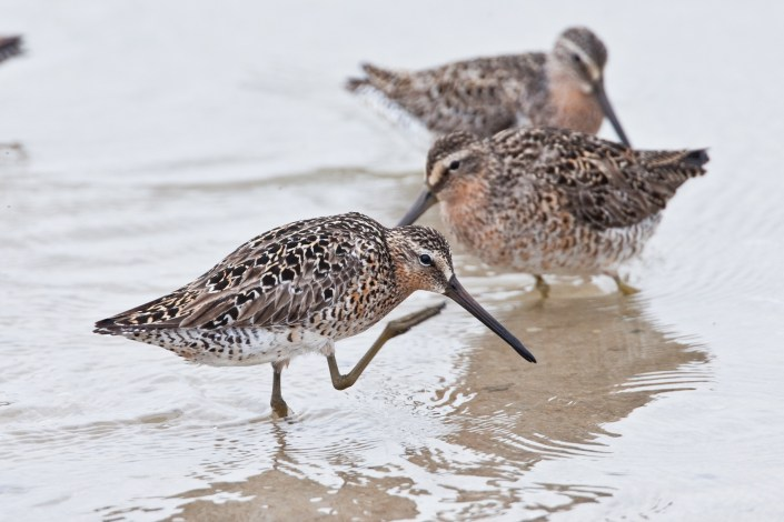 Short bill dowitcher (c) Jan van der Kam  from Life on Delaware Bay