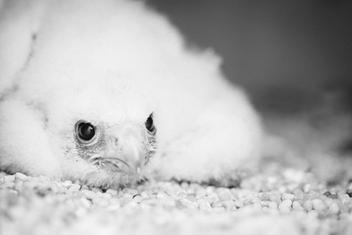 This week we visited the latest peregrine falcon nest in New Jersey. We were there to check for hatching. Here is what we found. A lone 17 day old male falcon. He is the youngest falcon in New Jersey. Click to view large. Photo by Ben Wurst.