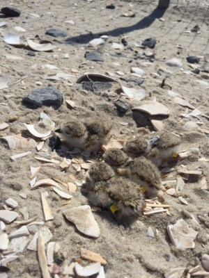 Just hatched piping plover chicks sporting their color bands, which will help researchers track them.