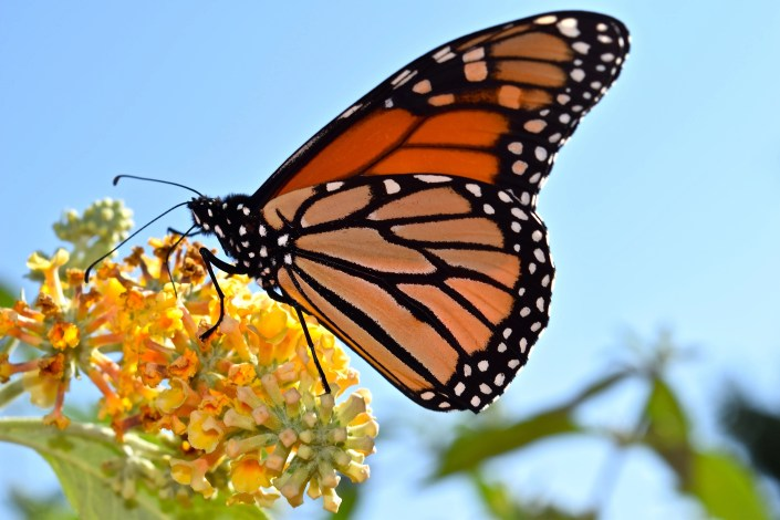 Monarch butterfly refueling in Cape May as it prepares for fall migration to Mexico. Photo courtesy of Lindsey Brendel.