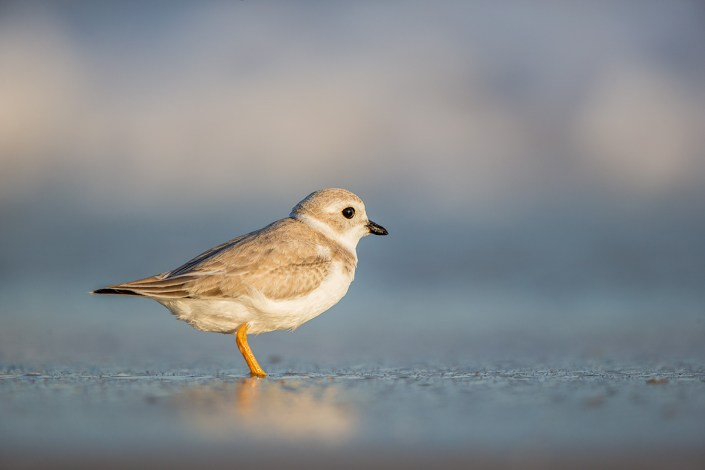 Piping plover sheds its breeding plumage as it readies for migration to wintering grounds. Photo courtesy of Northside Jim.