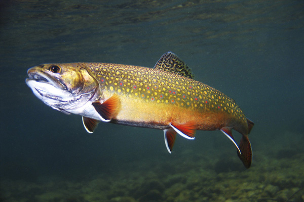 Eastern Brook Trout, New Jersey's only native trout. Photo by animalspot.net.