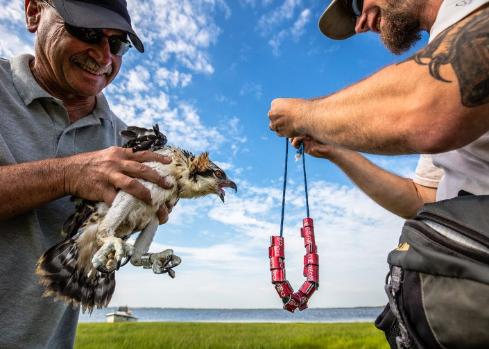 Bill Clarke, project supporter holds a young and feisty osprey that Ben Wurst prepares to band with a red auxiliary band on Barnegat Bay. July, 2015. Photo by Northside Jim.