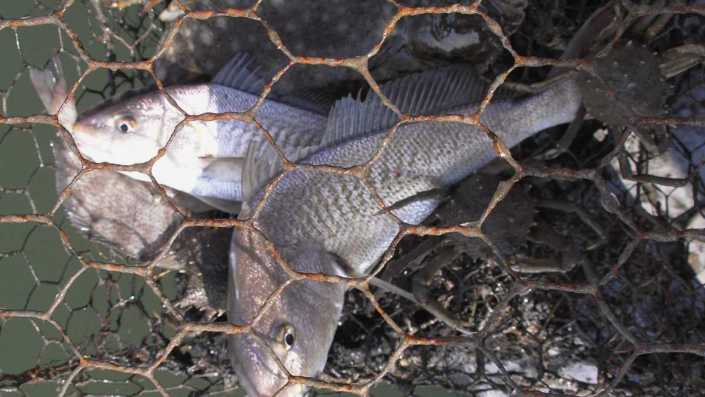 Abandoned crab pots unnecessarily trap fish and harm the marine ecosystem, according to the Conserve Wildlife Foundation of NJ. (Image: NOAA)