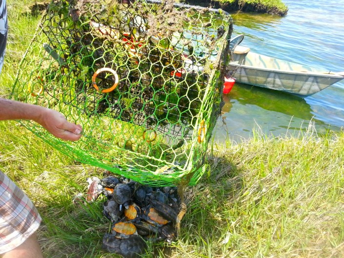 Nearly 50 diamondback terrapins drowned in one abandoned crab pot. Photo by Shannon Alexander of Bay Country Kayaking