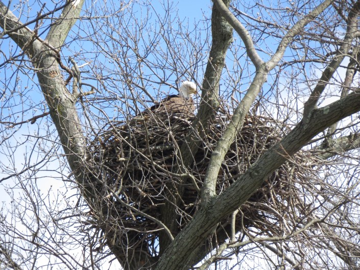 Jersey Girl, B-64, New nest 2016@ L. Oughton