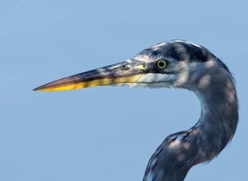 Great blue heron by Howie Williams (8)