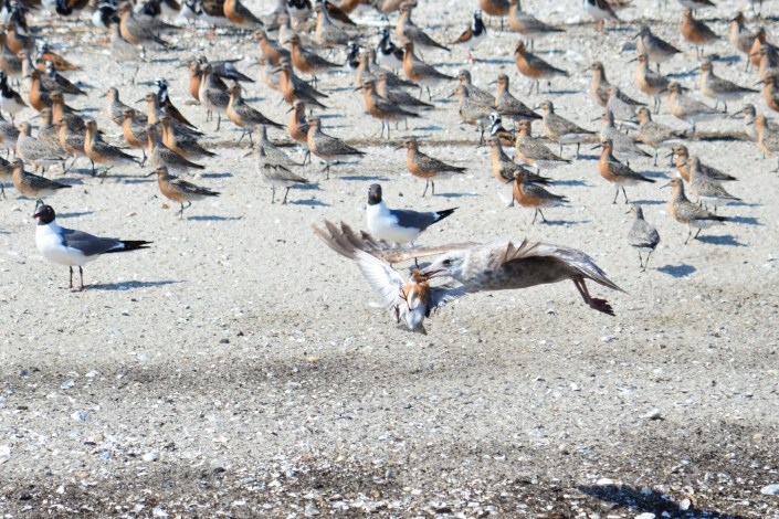 Herring gull hunting red knot, Cooks Beach, New Jersey. Photo by Jack Mace.