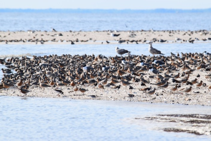 A sandy shoal at the mouth of the nameless creek between Reeds and Cooks Beach. At the time of this picture, over 3,000 knots and 1,000 ruddy turnstones were using the shoal and the inner sandy beach behind the shoal. Photo by Stephanie Feigin.