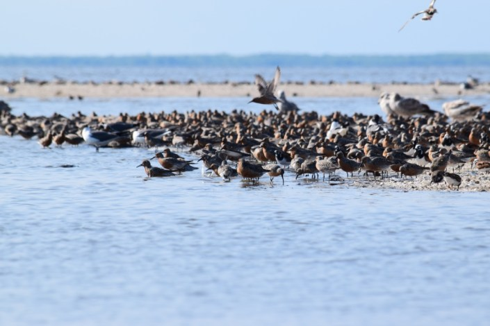 Red Knots on Cooks Shoal. Photo by Stephanie Feigin.
