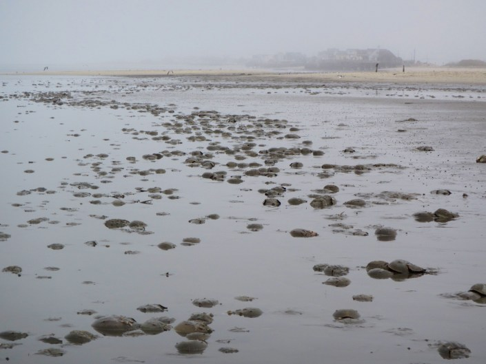 Horseshoe crabs rely on the intertidal flats to forage for marine invertebrate like small clams.