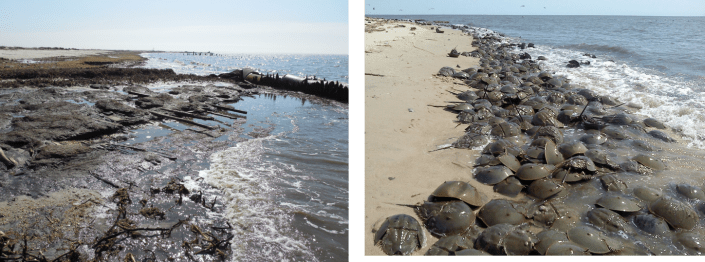 Moore's Beach before and after restoration by the American Littoral Society and Conserve Wildlife Foundation of New Jersey.